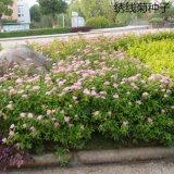 繡線菊種子優質林木種子又名珍珠梅種子馬尿騷花種子景觀花海批發