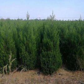 提供3-4米大塔柏树苗木行情