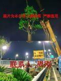 蘇州造型鴻運果 造型無刺枸骨基地 庭院景觀苗木