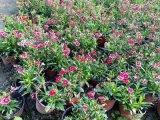 成都草花基地郫都区名川园艺场长期供应石竹花