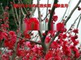 苏州梅花树种植基地 红梅 绿梅 白梅 梅花树桩盆景