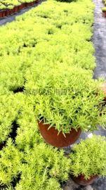 成都本地大量优质佛甲草郫都区名川园艺场供应佛甲草