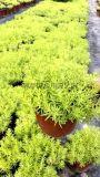 成都本地大量優質佛甲草郫都區名川園藝場供應佛甲草