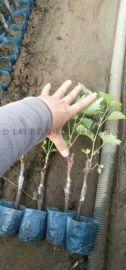 吉林葡萄苗销售信息、营养钵茉莉香葡萄苗
