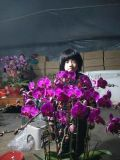 花卉,蝴蝶兰,蝴蝶兰盆景