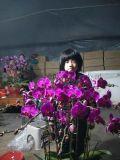 花卉,蝴蝶蘭,蝴蝶蘭盆景