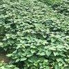 供應脫毒紅薯苗高澱粉紅薯苗