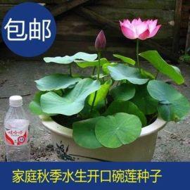 四季碗莲种子盆景1元一粒模式跑江湖地摊多少钱