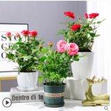 迷你玫瑰花苗盆栽带花苞花卉植物钻石微型小月季四季开花不断好养