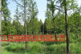 中山杉与落羽杉哪里有得卖  盐城华东花木大量供应