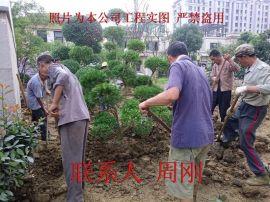 造型黄杨苗圃基地、苏州庭院别墅景观绿化、苏州造型树苗基地、景观造型苗木