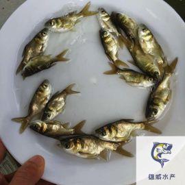 縮骨大頭魚苗批發仙骨花鰱魚苗出售