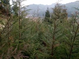 柳杉/米径3公分柳杉工程苗