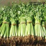 散装芹菜种子 大叶芹菜 旱芹 香芹优质美国西芹本芹 药芹种子批发