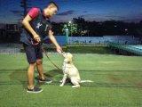 深圳訓犬鵬城k9快樂訓犬俱樂部拉布拉多訓練