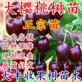 樱桃树苗车厘子苗嫁接樱桃苗果树苗盆栽地栽南北方种植苗当年结果