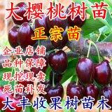 櫻桃樹苗車釐子苗嫁接櫻桃苗果樹苗盆栽地栽南北方種植苗當年結果
