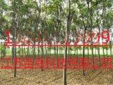 10公分栾树怎样栽培管理  湖北苗木基地