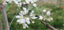 苹果花粉授粉用花粉活性花粉果树授粉