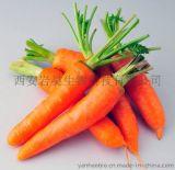 胡萝卜Carrot PE.