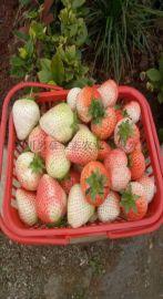草莓采摘园_生态草莓多少钱_四川思慕生态农业有限公