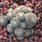 園藝火山石顆粒 多肉植物鋪面火山石顆粒