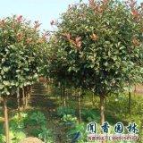 沭阳高杆石楠树6~8公分基地直销红叶石楠球