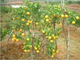 新宁脐橙特产 出口东南亚