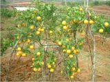 新寧臍橙特產 出口東南亞