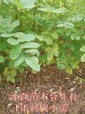 刺槐苗 1年刺槐苗 50公分刺槐苗