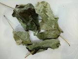 豆腐樹葉/供應豆腐樹鮮葉幹葉