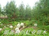 湖北利川柳杉树苗米径8公分柳杉树