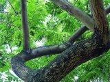 不砍树也能致富汇生林业涉嫌夸大其词