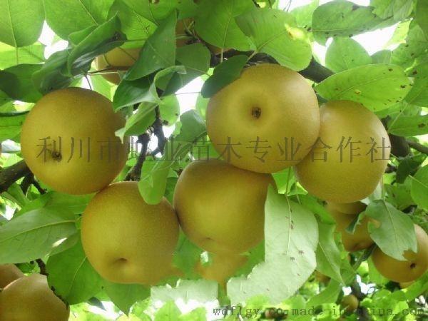 梨树苗/利川糖梨苗
