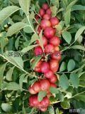 钙果苗 山西钙果苗种植基地