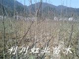 珙桐/珙桐树苗/鸽子树和平树