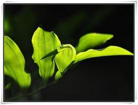 玉竹提取物生产厂家 10: 1现货