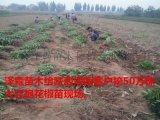 供应1米大红袍花椒苗产地直销 最新大红袍花椒苗价格