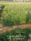 2年生大紅袍花椒苗=二年大紅袍花椒苗多少錢一棵