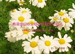 除虫菊苗木(杨凌金山)(YLJS003)