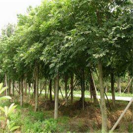 批发优质朴树树苗 基地直供 工程园林绿化苗木 朴树小苗 规格齐全