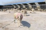 波尔山羊大型养殖波尔山羊多少钱波尔山羊种羊价格