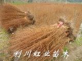 水杉/水杉苗/1米左右水杉樹苗