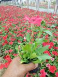 哪 草花便宜非洲凤仙四季草花夏时令草花百日草一串红