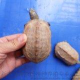 白化龜 白化草龜 廣東草龜特色個性寵物烏龜