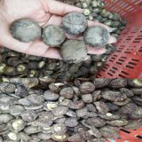 dried shitake mushroom 干香菇厂家直销
