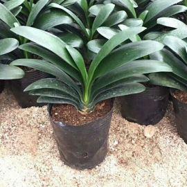 君子兰盆栽圆头和尚花卉植物室内花老苗宽短叶花苗带花苞当年开花