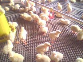 塑料网、养鸡网、养殖苗床网、塑料平网