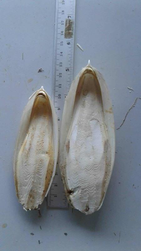 墨鱼骨海螵蛸宠物磨牙补钙