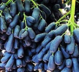 甜蜜蓝宝石葡萄苗价格,供应品种葡萄苗,根系发达